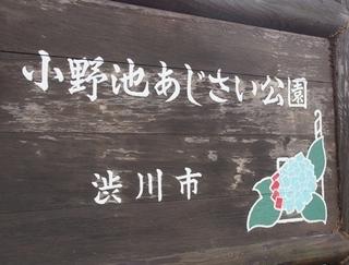 0630ajisai6.JPG